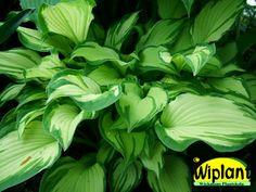 Hosta fortunei Aurea, blomsterfunkia. Ljusgula blad, senare mattgrön. 50/70 cm hög. Se fler funkior på skild anslagstavla: https://se.pinterest.com/wickmansplantsk/funkior/