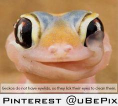 Geckos are awesome