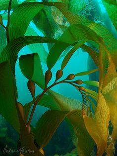 Giant kelp Andrew P Newton Fortescue Bay Tasmania