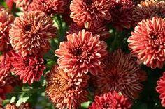 Master Gardener: Mums, the divas of the autumn garden Garden Mum, Autumn Garden, Mums For Sale, Hardy Mums, Fall Mums, Beautiful Flowers Garden, Flower Bouquet Wedding, Bridal Bouquets, Fall Plants