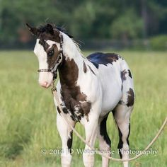 A pretty paint Most Beautiful Horses, All The Pretty Horses, Animals Beautiful, Cute Animals, Baby Horses, Cute Horses, Horse Love, Horse Photos, Horse Pictures