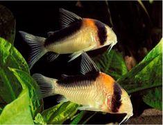 Cory - Corydoras adolfoi Orange Burst Cory or Adolfo's Cory Tropical Aquarium, Tropical Fish, Aquarium Fish, Fish Aquariums, Small Catfish, Cory Catfish, Colorful Fish, Freshwater Fish, Fish Tank