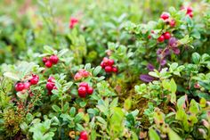 wild lingonberries grow in forests