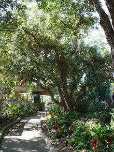 Specimens of very old cork oaks line the entry walk to the San Diego Botanical Garden, a legacy of foresight by the original owners of the property.