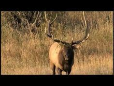 Elk Bugling in @Kristine Balcom-reed Mountain National Park and Estes Park, Colorado -Start Planning now at VisitEstesPark.com