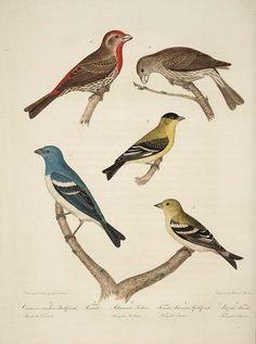 Titian Ramsay Peale Ornithological illustration