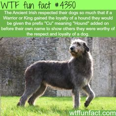 What does the respect of a dog meant for Ancient Irish - WTF fun facts
