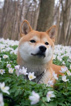 akita dog This fox-like dog is the intelligent (and now hilarious) Shiba Inu. Shiba Puppy, Akita Dog, Husky Pet, Baby Animals, Funny Animals, Cute Animals, Wild Animals, Pet Dogs, Dog Cat