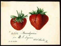 "Fragaria ( Brandywine strawberries) by Deborah Griscomb Passmore (1840-1911). ""U.S. Department of Agriculture Pomological Watercolor ..."