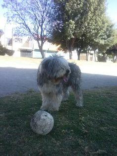 Badoo!! A jugar! Bobtail Old english sheepdog