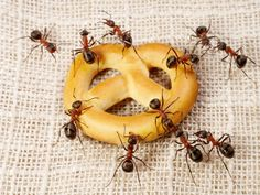 Ants in the kitchen cabinet. Ants in the garden. Ants in cupboards. Ants crawling through cracks. Ants everywhere. They are unwanted pests, and can turn out to be quite a nuisance. Fortunately, there are simple home remedies to get rid of them.