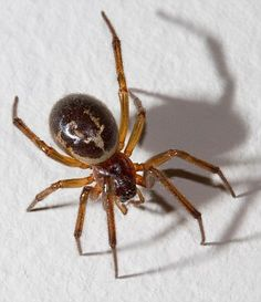 False widow spider. Not so cute if reports are to be believed but we seem to have a lot of them!