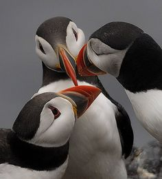 Puffins.  Three's a crowd, by davy ren2