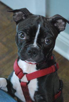 My Boston Terrier Daisy