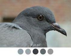 GRIJZE DUIF - Blauw, grijs tinten.