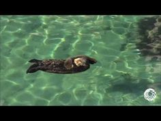 Wild Sea Otter Mother and Pup Visit Monterey Bay Aquarium's Great Tide Pool | The Daily Otter