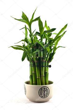 Photo about Lucky bamboo (Dracaena sanderiana) in a porcelain pot. Image of green, flora, porcelain - 22666072 Photos For Sale, Stock Photos, L Eucalyptus, Lucky Bamboo, Feng Shui Tips, Desk Setup, Flower Pots, Flora, Porcelain