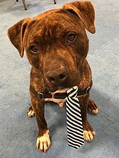 Pictures of Tyler a Pit Bull Terrier for adoption in Jackson, NJ who needs a loving home. Bull Terrier Mix, Pitbull Terrier, Terrier Dogs, Rescue Dogs, Animal Rescue, Shelter Dogs, Siberian Cats For Sale, I Love Dogs, Dogs
