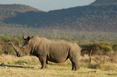 Rhino standing still, hoping we don't notice that he's not a rock. African Animals, Elephant, Rock, Skirt, Elephants, Locks, Rock Music, The Rock, Stone