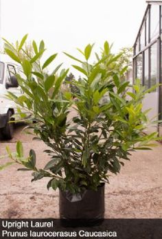 Prunus laur. Caucasica Upright Laurel hedging is a dense shrub perfect for garden boundaries. 'Caucasica' is much like the Common Laurel but with at normal growing height of 15ft - 20ft. The large fleshy leaves means that laurel has good sound absorbing qualities.
