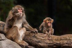 Monkeys, Animaux