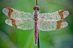 Insectos en el rocío de la mañana En estas fotografías puedes ver algunos de los trabajos más originales del fotógrafo francés David Chambo...
