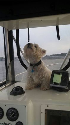 West Highland White Terrier. Looks like my Boo on Pretty Lady. Fun times when you find out your dog likes the water from the helm too. She was quite the traveler.
