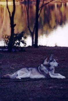 Merlin - Hybrid wolf