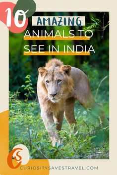 India has amazing wildlife, from Bengal Tigers to the Nilgiri Tahr. Don't miss these 10 amazing animals in India that you can see on an Indian wildlife safari or in India's National Parks. #wildlife #India #ecotourism via @curiositysaves India Travel Guide, Asia Travel, Travel Usa, Travel Tips, Travel Goals, Wanderlust Travel, Travel Guides, Travel Destinations, Most Endangered Animals