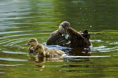 Canards noirs