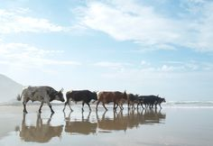 Photographer Christopher Rimmer spent a year studying the strange habits of cattle on South Africa's wild coast. His exhibition Amapondo opens in New York in April African States, Cattle, East Coast, South Africa, Pictures, Amazing Photography, Landscape Photography, Beach Paintings, Animal Magic