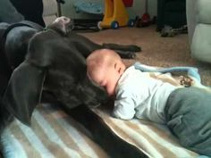 Great Dane cuddles with baby (The Original)