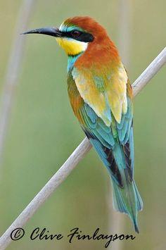 http://4.bp.blogspot.com/_yepxswKlo3I/TRiyos0UvFI/AAAAAAAACzA/9b-FJ6GgFdw/s1600/Bee-eater+7.jpg