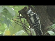 Downy Woodpecker - 3/5/12 (home)