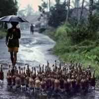 INDONESIA. Java. 1984. Herding ducks.