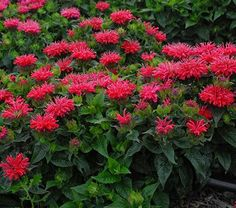This diminutive Bee Balm sends up masses of cherry pink blooms that draw pollinators. The rich green foliage shows good resistance to mildew on a mounding, well-branched plant. A Proven Winners® variety. PPAF