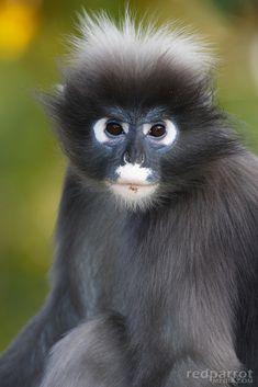 ~~Dusky Leaf Monkey, Adelaide Zoo SA~~
