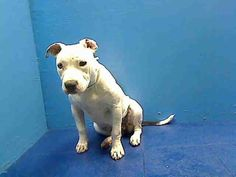 GONE RIP 6/25/13 Brooklyn Center  LIFE A0964927 FEMALE WHITE/ BLACK PIT MIX 10mos Life came in as a stray, but she loves ppl so it is likely that she isn't one. As other pups are learning their manners & enjoying life this Life sits on DEATH ROW She aced her behavior evaluation w/ the exception of the dog to dog portion but that can change. Tomorrow Life will be dead unless a foster/adopter steps up tonite We must save her Share her everywhere, let's make sure  Life leave the ACC alive