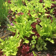 Proud of our beautiful #organic #pesticideFree lettuce grown in the #hotel garden. #sustainability is #tasty! #yummy #foodie #FatimaPortugal #VisitPortugal #SanctuaryOfFatima #FatimaSantuario #FatimaSanctuaire