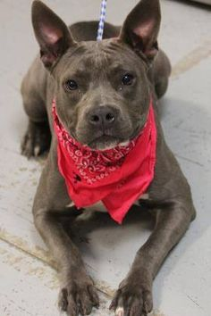 RTO>NAME: Candy  ANIMAL ID: 34152423  BREED: Pit/boston mix  SEX: female  EST. AGE: 8 months  Est Weight: 39 lbs  Health: Heartworm neg  Temperament: super playful, dog friendly, people friendly  ADDITIONAL INFO: RESCUE PULL FEE: $35  Intake date: 12/6  Available: 12/12