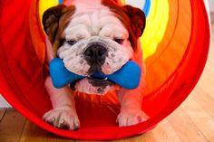 You make me smile. :) What a cute bulldog puppy!