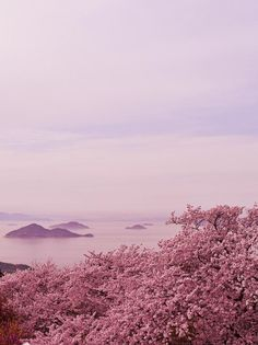 Mt. Shiude, Mitoyo, Kagawa, Japan, sakura, cherryblossom