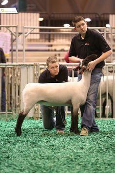 A sheep showin' dynamic duo! #showchamps
