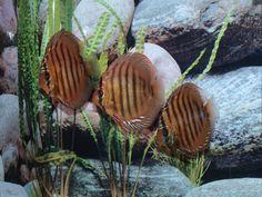 bild4 Discus Aquarium, Plants, Pisces, Bahia, Plant, Planets