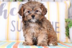 Shorkie Puppies for Sale Shorkie Dogs, Shorkie Puppies For Sale, Cavachon, Yorkies, Adorable Puppies, Cute Dogs, Shih Tzu Poodle Mix, Lancaster Puppies, Animals Dog