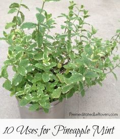10 Uses for Pineapple Mint including a Pineapple Mint Salad Recipe. Pineapple mint is an herb that is the mint family with a sweeter, fruitier flavor.