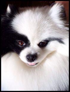 Coco, the Black Parti Pom, he's like my Emmett very beautiful markings!