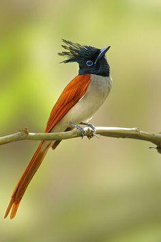 . The Asian Paradise-flycatcher (Terpsiphone paradisi)
