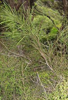 Carmichaelia australis