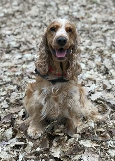 Cocker Spaniel, Doggies, Animals, Real Love, Dog, Little Puppies, Animales, Animaux, Pet Dogs